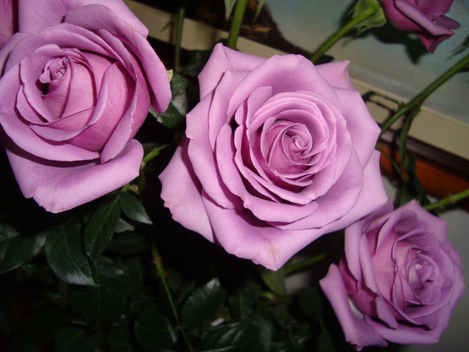Resultado de imagem para 3 rosas uma amarela outra lilas outra cor coral